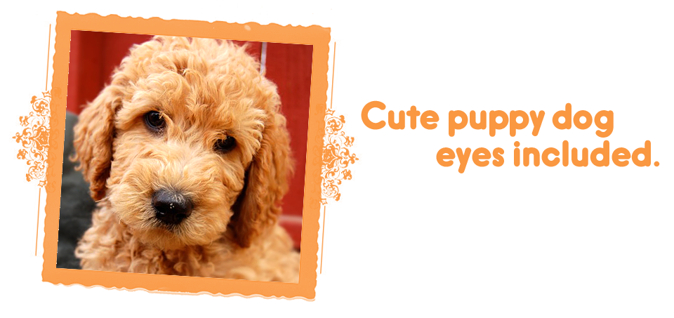 Cute puppy dog eyes included / Labradoodle puppies on Loveable Labradoodles