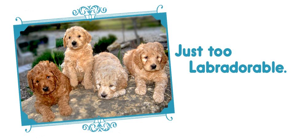 Just too Labradorable / Labradoodle puppies on Loveable Labradoodles