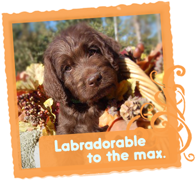 Labradorable to the max / Lovelable Labradoodles